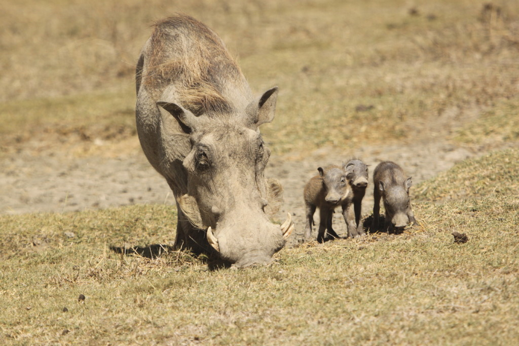 Warthog mother with her piglets
