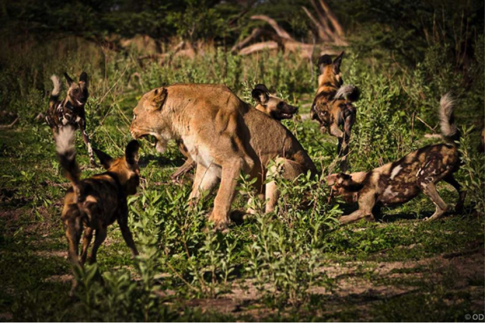 The pack managed to get the lioness on the back foot and used their numbers to launch a successful attack.