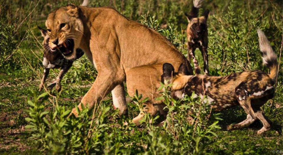 The wild dogs attack from all angles confusing the lioness and preventing her from singling any individual out.