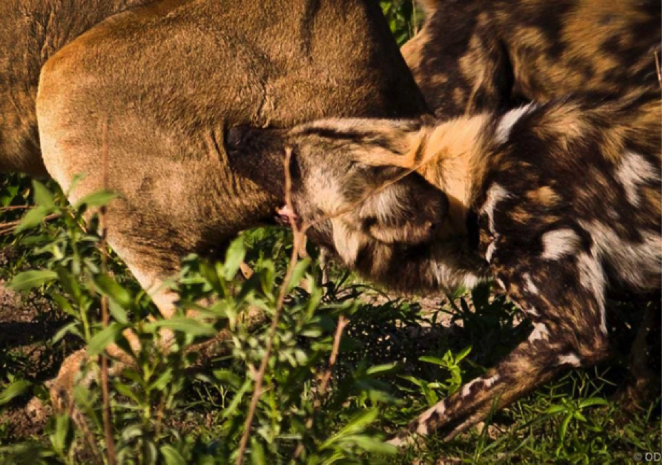 This cropped images shows a wild dog getting a good bite at the lioness