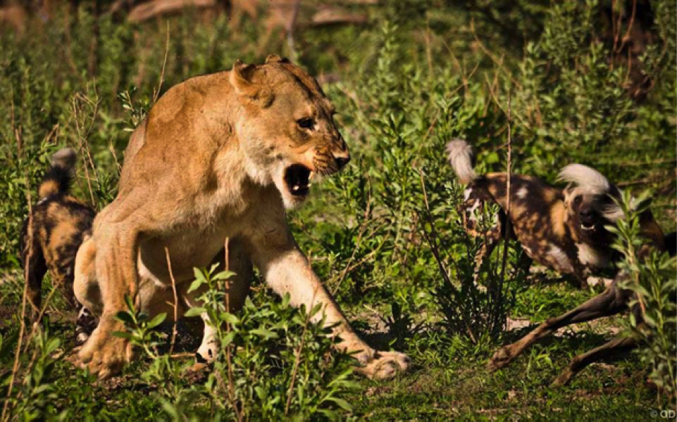 Surrounded the lioness has to brace herself for another attack