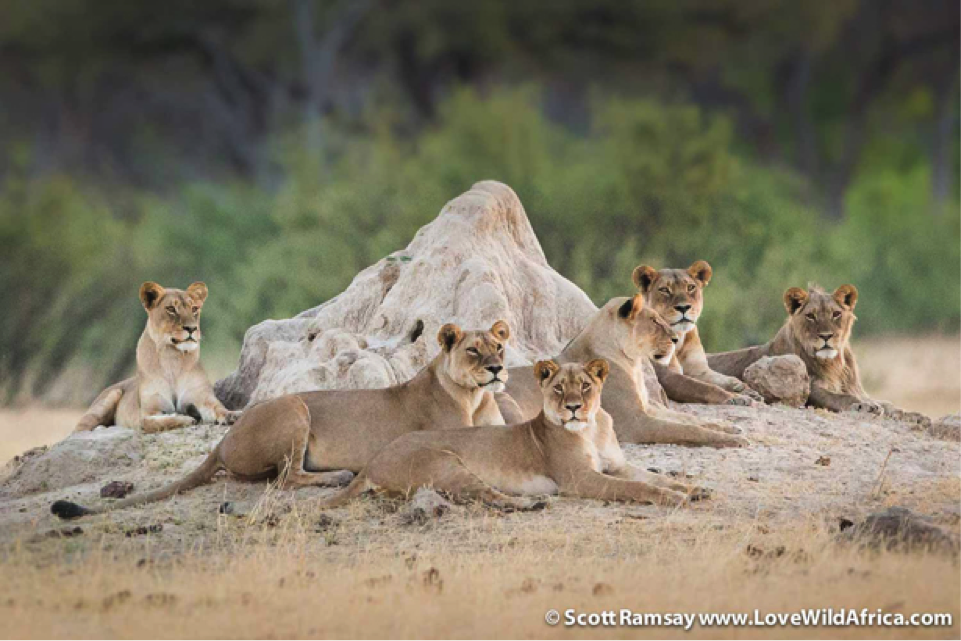 Part of a super pride of lions, which were watching us within metres of Linkwasha Camp