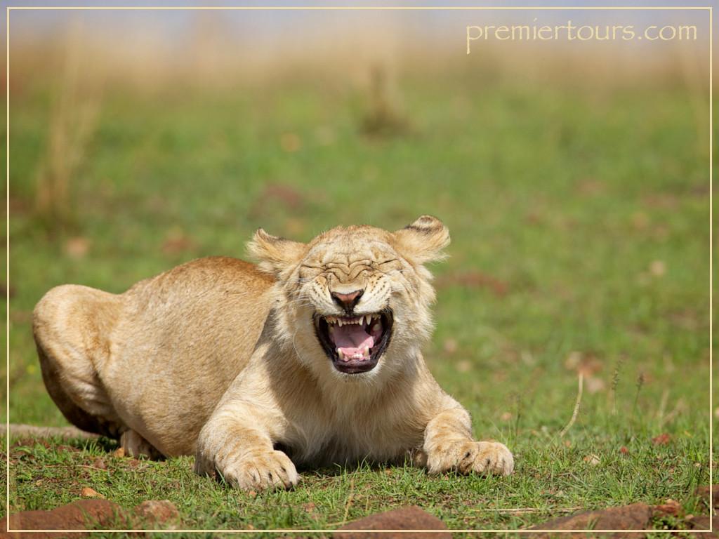 Lioness-Roaring-WM