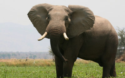 elephant in Zimbabwe's unspoiled wilderness