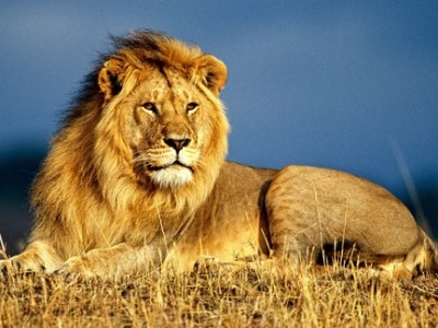 Male lion on the African Savannah