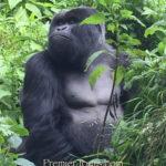 Gorillas of Uganda and Rwanda