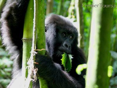 Rwanda Gorilla and Chimpanzee Tours