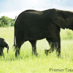 Baby Elephant follows her mother