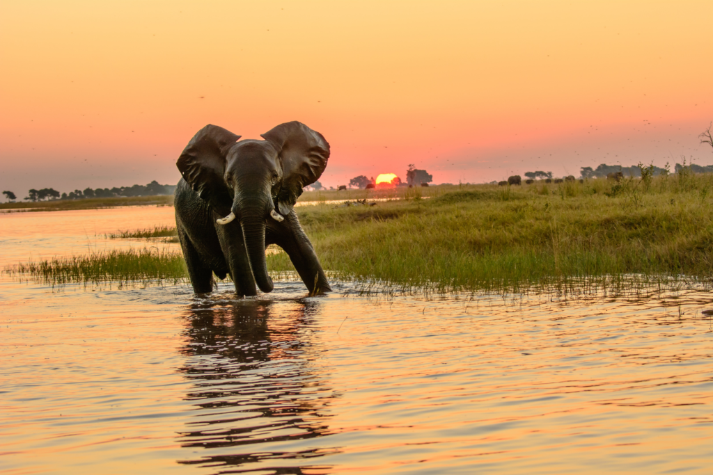 Elephant on the Chobe River in Botswana at sunset